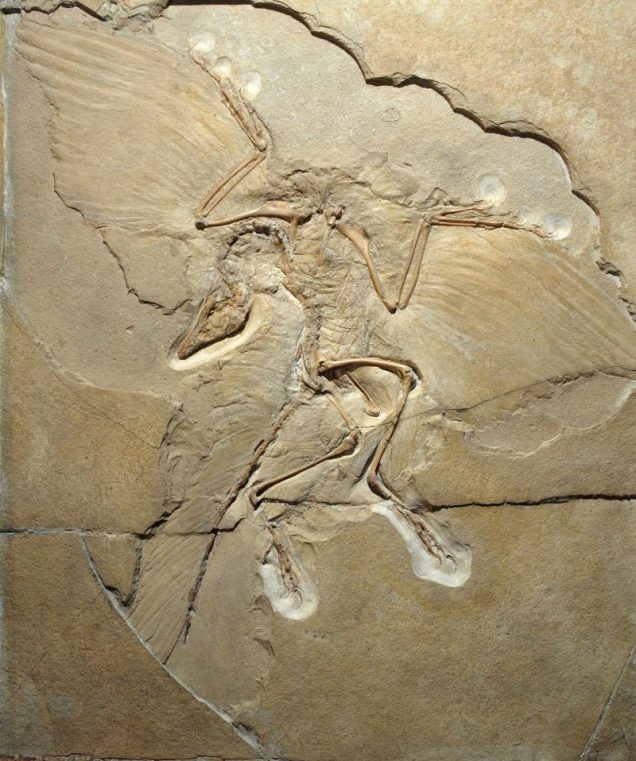 The Berlin specimen of Archaeopteryx / Photo - National Museum of Wales