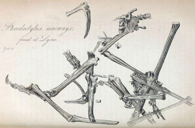 Illustration of D. macronyx specimen NHMUK PV R 41212 / Wikipedia