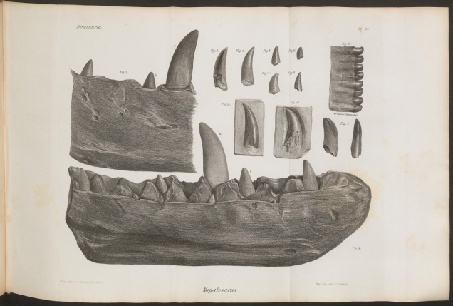 Megalosaurus teeth illustration / Biodiversity Heritage Library